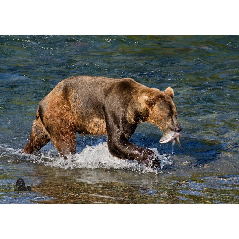 STRONGHOLD Animal Target Face - Brown Bear - 59 x 84 cm - hydrophobic / tear-resistant